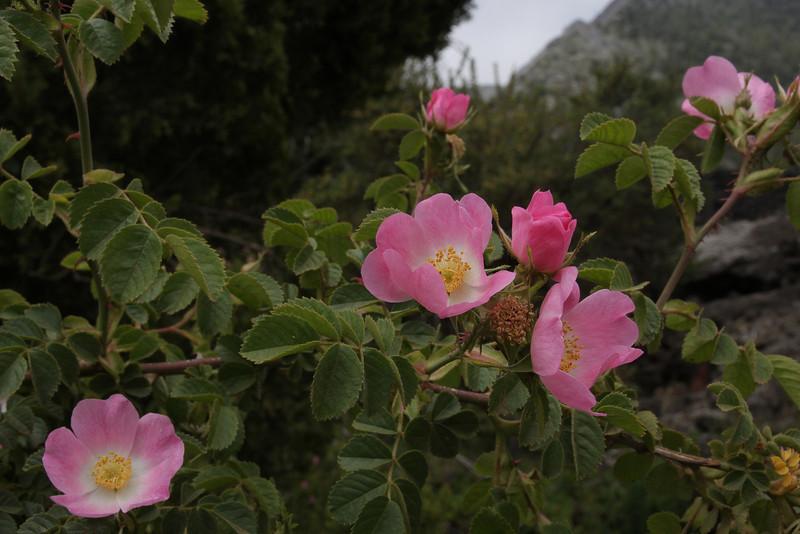 Rosa spec