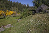 Nierembergia patagonica (syn. Petunia patagonica)