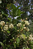 Hydrangea serratifolia