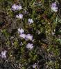 Viola fluehmannii