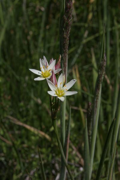 Zoellnerallium andinum or Tristagma