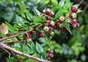Mitraria coccinea in fruit