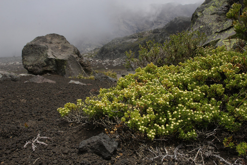Baccharis magellanica