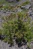 Escallonia alpina