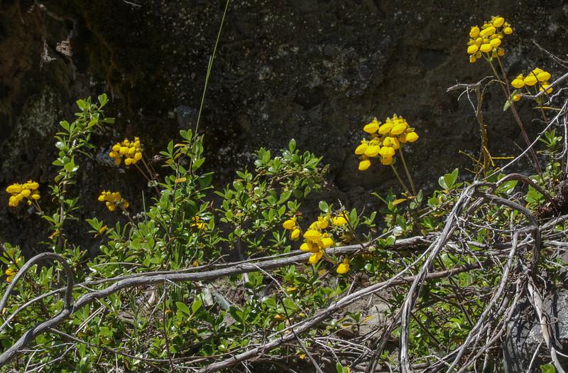 Calceolaria tenella?