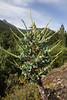 Puya berteroniana
