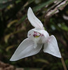 Codonorchis lessonii