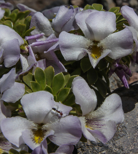 Viola cotyledon
