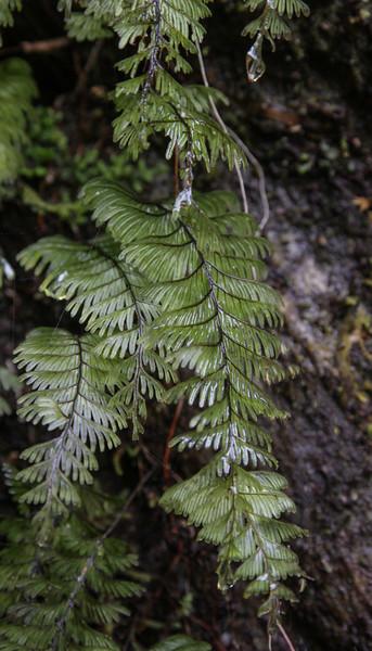 Hymenophyllum cf pectinatum