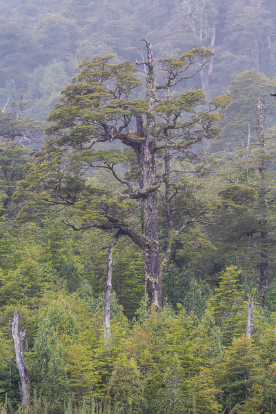 Nothofagus forest