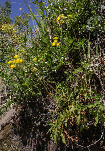 Calceolaria dentata