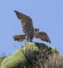 Falco peregrine ssp. cassini