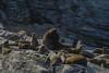 Otaria flavescens