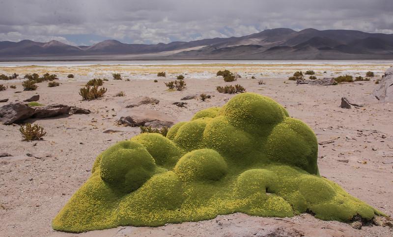Salar de Huasco, near the Bolivian border, Tarapaca
