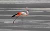 Phoenicopterus chilensis