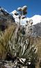 Senecio canescens and Alpamayo 5947m