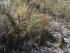 Coriaria ruscifolia subsp microphylla, Lake Cullicocha 4628m - Hualcayan 3150m