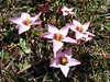 Gentianella tristicha and Eryngium humile