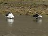 Chloephaga melanoptera (Andean goose) Llanganuco valley 4100m. Parc Nacional Huascaran