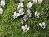 Viola pygmaea, Quara Quara pass 4840m
