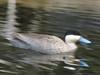 Anas puna, (dabbling duck)