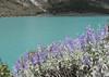 Lupines spec.  (Llanganuco valley 4100m. Parc Nacional Huascaran)