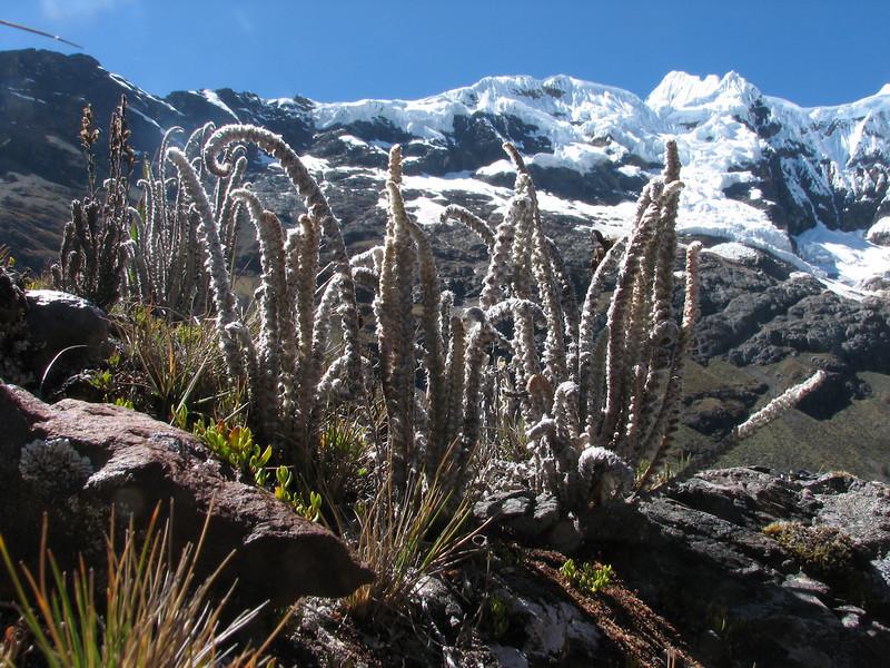 Jamesonia aff. goudotii, near Safuna lakes 4300m