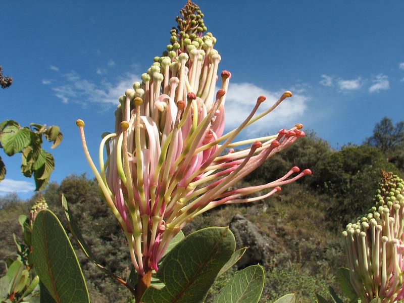 Oreocallis grandiflora