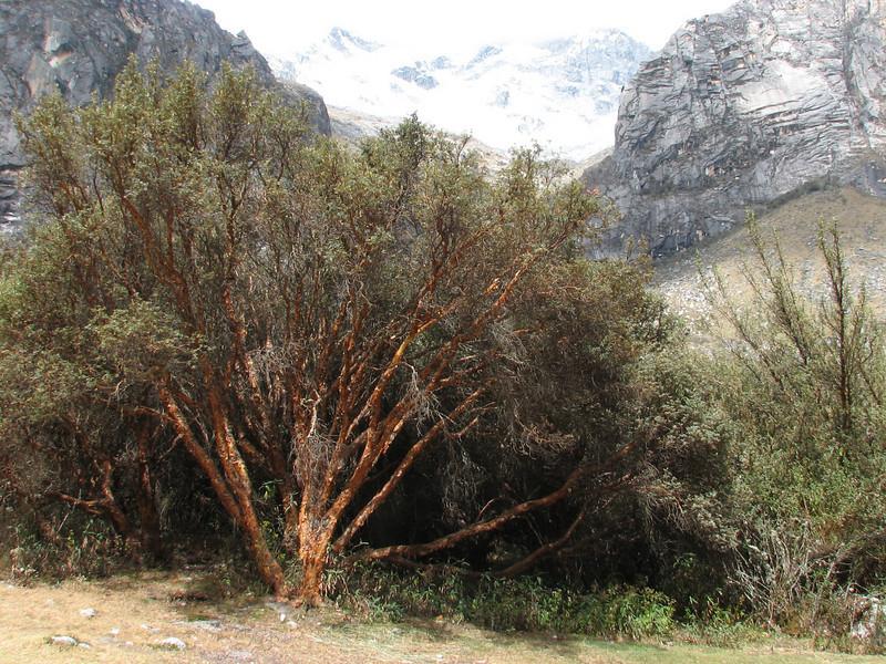 Polylepis ssp. (Llanganuco valley 4100m. Parc Nacional Huascaran)