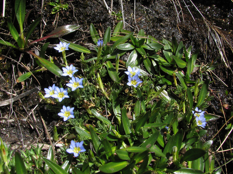 Gentiana sedifolia