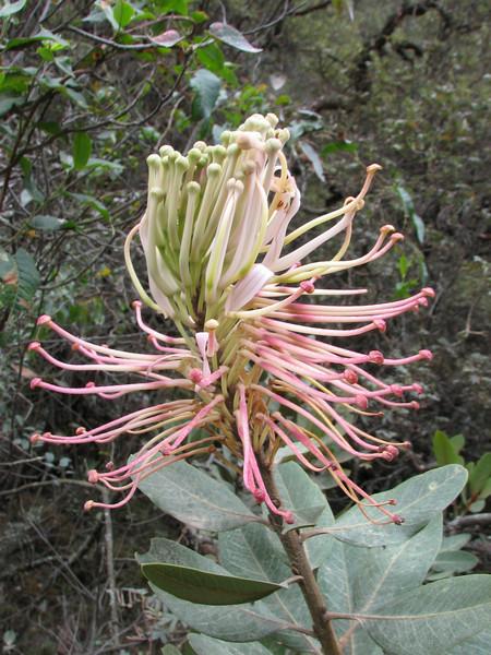close up of the Proteaceae: Oreocallis grandiflora (Llanganuco valley 4100m. Parc Nacional Huascaran, Cordillera Blanca)
