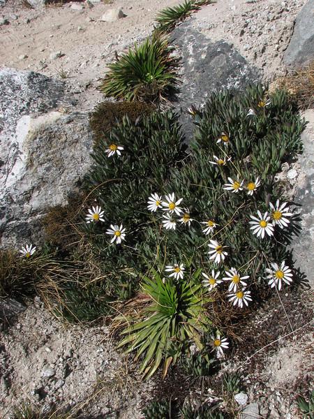 Werneria orbingyana and Valeriana rigida (syn. Phyllactis rigida)