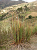 Orthrosanthus chimborocensis var. tunariensis, near Pomabamba 2950m