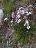 Gentianella tristicha, (Taullipampa 4150m - Punte Union 4700m.(pass) - Tuctupampa 4100m)