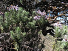 Diplostephium azureum,  Lake Cullicocha 4628m - Hualcayan 3150m