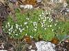 rosulate Viola : Viola pygmaea, Quara Quara pass 4840m
