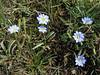 the very small flowers of Gentiana sedifolia (Llanganuco valley 4100m. Parc Nacional Huascaran, Cordillera Blanca)