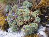 Nototriche obtusa, (Taullipampa 4150m - Punte Union 4700m.(pass) - Tuctupampa 4100m)(Identification by Robert Rolfe AGS U.K.)