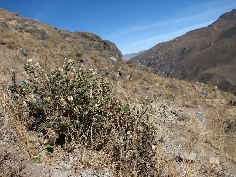 Astragalus cf. garbancillo