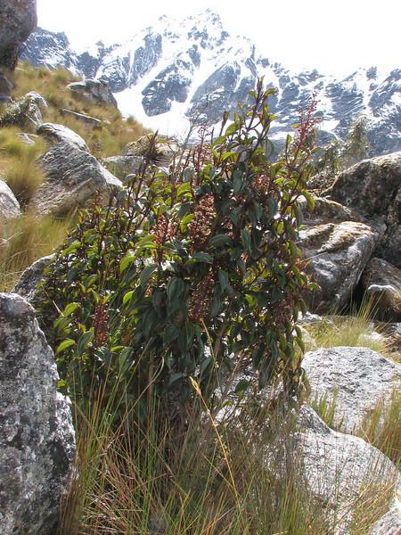 Miconia latifolia