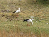 Chloephaga melanoptera (Andean goose)