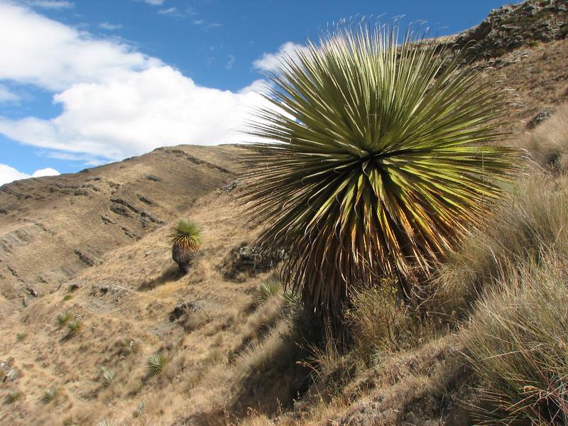 Puya raimondii, Huinchus 4300m (Cordillera negra)