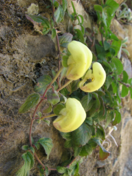 Calceolaria spec.