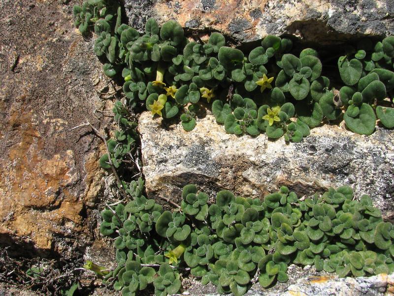 Salpichroa hirsuta, Lake Cullicocha 4628m - Hualcayan 3150m