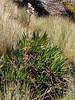 Valeriana spec. Osoruri pass 4860m