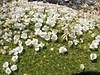 Dactylocardamum imbricatifolium,    Osoruri pass 4860m. I.D. by Kai-Philipp Schablewski