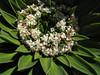 Valeriana rigida (syn. Phyllactis rigida)