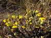 Bartsia diffusa
