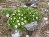 Valeriana rigida (syn. Phyllactis rigida), Quara Quara pass 4840m