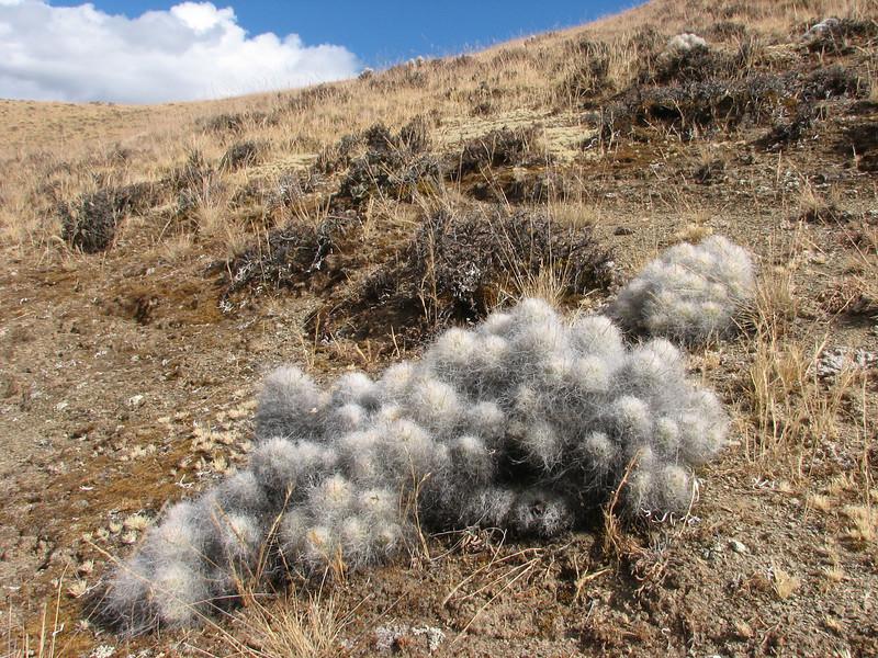 Oroja borchersii and Austrocylindropuntia floccosa (syn.Tephrocactus) (Cordillera negra)